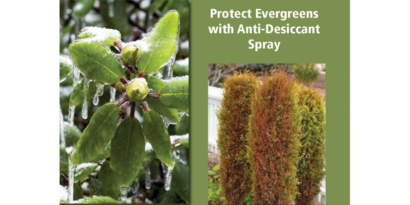 How to Prevent Winter Burn on Evergreens