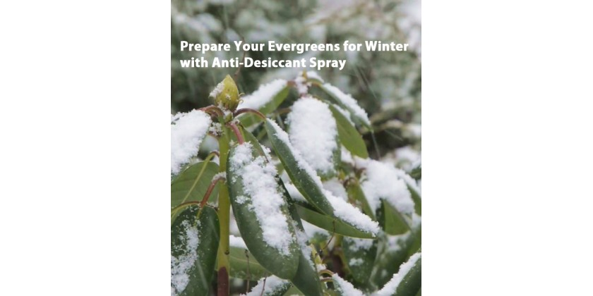 Protecting Evergreens from Winter Burn with Anti-Desiccant Spray